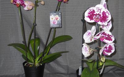 Bloemen Driesen - Orchideeên